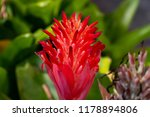 Small photo of Red Bromeliad, an ornament plant that is grown to refresh the environment at night. The flower, on selective focus, is in contradistinction to the old bouquet and the green leaves background blurred.