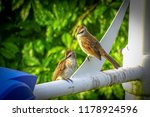 couple of yellow vented bulbul  ... | Shutterstock . vector #1178924596