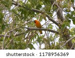 Small photo of Bullock's Oriole (male)