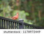 red male northern cardinal bird ... | Shutterstock . vector #1178972449