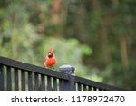 red male northern cardinal bird ... | Shutterstock . vector #1178972470