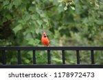 red male northern cardinal bird ... | Shutterstock . vector #1178972473