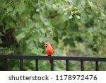 red male northern cardinal bird ... | Shutterstock . vector #1178972476