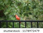 red male northern cardinal bird ... | Shutterstock . vector #1178972479