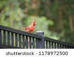 red male northern cardinal bird ... | Shutterstock . vector #1178972500