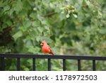 red male northern cardinal bird ... | Shutterstock . vector #1178972503