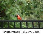 red male northern cardinal bird ... | Shutterstock . vector #1178972506