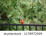 red male northern cardinal bird ... | Shutterstock . vector #1178972509