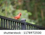 red male northern cardinal bird ... | Shutterstock . vector #1178972530