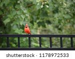 red male northern cardinal bird ... | Shutterstock . vector #1178972533