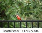 red male northern cardinal bird ... | Shutterstock . vector #1178972536