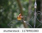 cute  tiny female cardinal bird ... | Shutterstock . vector #1178981083