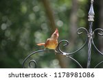 cute  tiny female cardinal bird ... | Shutterstock . vector #1178981086