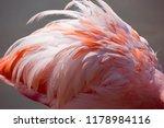 close up of a pink caribbean...   Shutterstock . vector #1178984116