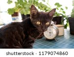 portrait of black little  cat...   Shutterstock . vector #1179074860