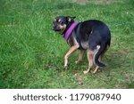 small afraid chihuahua | Shutterstock . vector #1179087940