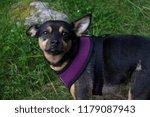 small afraid chihuahua | Shutterstock . vector #1179087943