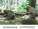 The Barbary Macaque Or Magot A...