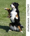 bernese mountain dog sitting up - stock photo