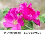 wild rose blossoming in autumn | Shutterstock . vector #1179189529