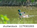 male mallard in the marital... | Shutterstock . vector #1179301003