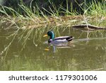 male mallard in the marital... | Shutterstock . vector #1179301006