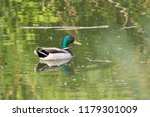 male mallard in the marital... | Shutterstock . vector #1179301009