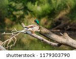 male mallard sits on a fallen... | Shutterstock . vector #1179303790