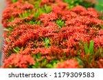 beautiful spike flower blooming ... | Shutterstock . vector #1179309583