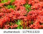 beautiful spike flower blooming ... | Shutterstock . vector #1179311323
