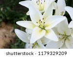 growing white lilies | Shutterstock . vector #1179329209