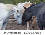 white and black horse nuzzling... | Shutterstock . vector #1179337096