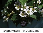 blackberry flowers and unripe... | Shutterstock . vector #1179339589