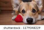 Stock photo a dog with a red heart valentine s day 1179348229