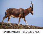 A Blesbok Antelope  Damaliscus...