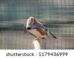 zebra finch bird. the zebra... | Shutterstock . vector #1179436999