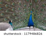male peacock showing bright... | Shutterstock . vector #1179486826