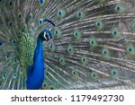 peacock with bright and... | Shutterstock . vector #1179492730