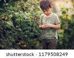 small boy picking raspberries... | Shutterstock . vector #1179508249