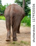 the asian elephant  elephas... | Shutterstock . vector #1179520336