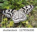 Nymph  Idea Leuconoe  Butterfly ...