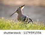 the hoopoe encounter | Shutterstock . vector #1179591556