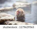 Some Macaque Apes Take A Bath...