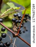 macro of wild grapes growing on ...   Shutterstock . vector #1179687289