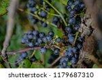 macro of wild grapes growing on ...   Shutterstock . vector #1179687310