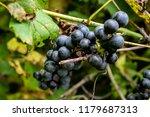 macro of wild grapes growing on ...   Shutterstock . vector #1179687313