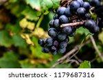 macro of wild grapes growing on ...   Shutterstock . vector #1179687316