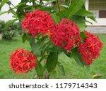spike flowers or red flowers in ... | Shutterstock . vector #1179714343
