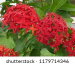 spike flowers or red flowers in ... | Shutterstock . vector #1179714346