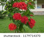 spike flowers or red flowers in ... | Shutterstock . vector #1179714370